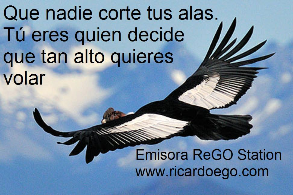 Male Andean Condor (Vultur gryphus) in flight